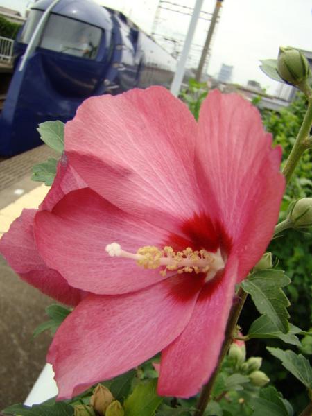 50000系ラピート&キレイなお花(井原里駅・上りホーム) ※この花の名前、分かりませんでした。。。